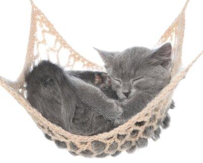 Fototapeta Słodkie szary kotek śpi w hamaku
