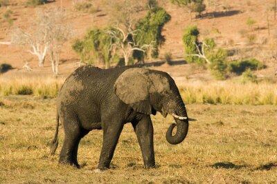 Fototapeta Słoń afrykański