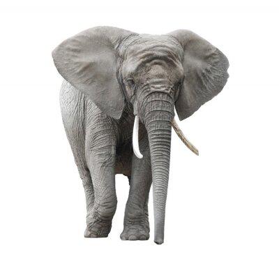 Fototapeta Słoń afrykański na białym z wycinek ścieżki