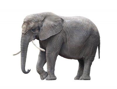 Fototapeta Słoń afrykański samodzielnie na białym z wycinek ścieżki
