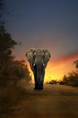 Fototapeta Słoń afrykański spaceru w zachodzie słońca