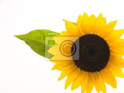 Fototapeta słonecznika na białym tle