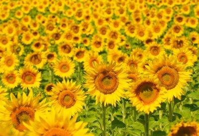 Fototapeta Słonecznika pola, Provence, Francja, płytkie fokus