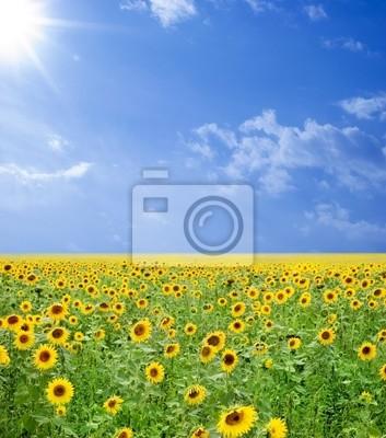 Fototapeta słoneczniki