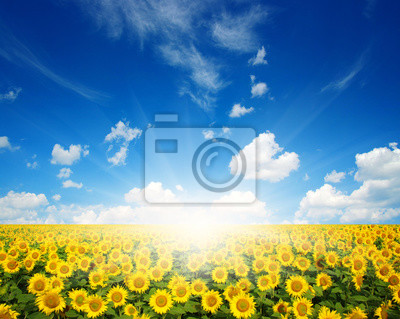 słoneczniki i słońce
