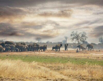 Fototapeta słonie