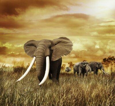 Fototapeta Słonie o zachodzie słońca
