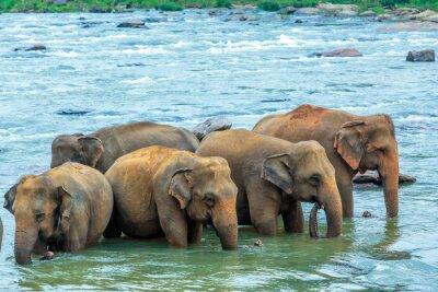Fototapeta Słonie w rzece
