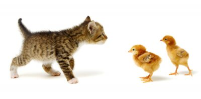 Small brown kitten and chicks