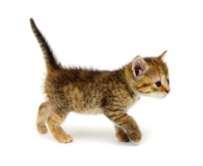 Small brown kitten isolated on white