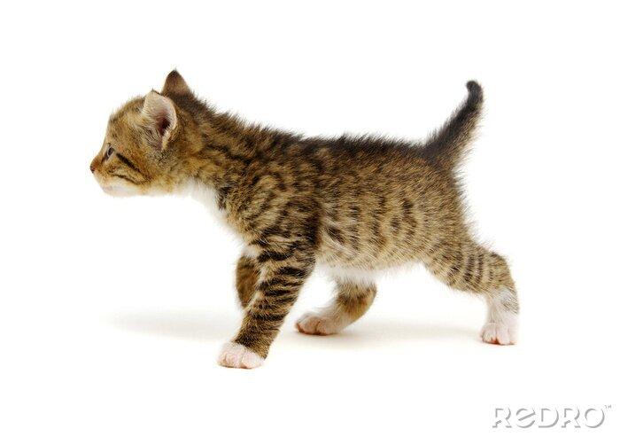 Fototapeta Small brown kitten isolated on white