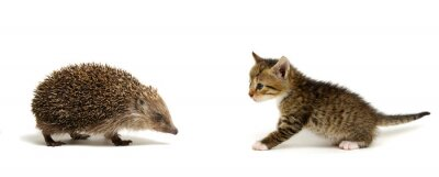 Small gray kitten and hedgehog