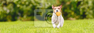 Fototapeta Small happy dog playing with pet toy ball at backyard lawn (panoramic crop with copy space)