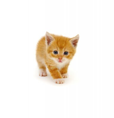 Small red kitten on a white