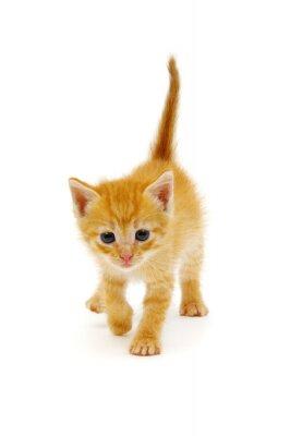Fototapeta Small red kitten on a white