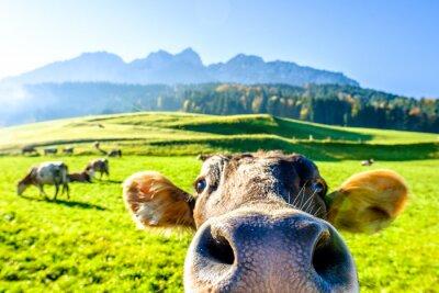 Fototapeta śmieszna krowa