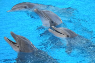 Fototapeta Śmieszne Delfiny