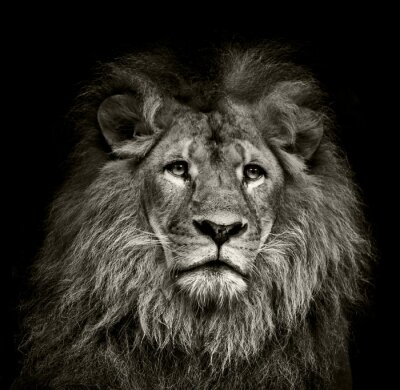 Fototapeta smutny lew
