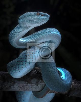 Fototapeta Snake - Viper - Reptile Series