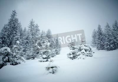 Fototapeta Śniegu pokryte fir