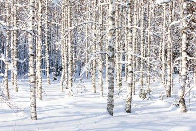 Fototapeta Snowy pni brzozy