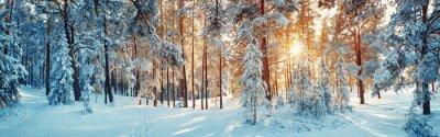 Fototapeta Sosny pokryte śniegiem w mroźny wieczór. Piękna panorama zimą