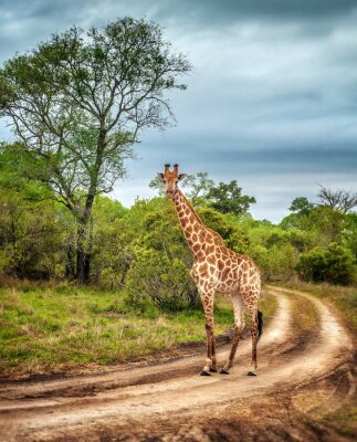 Fototapeta South African wild żyrafa