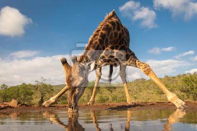 Fototapeta Southern giraffe drinking water