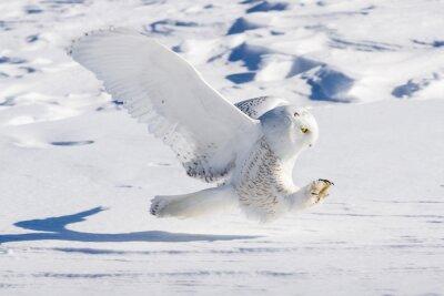 Fototapeta Sowa śnieżna Swoop