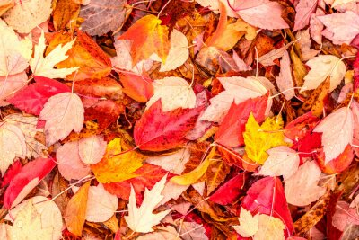 Fototapeta Spadające żółte i czerwone jesienne liście