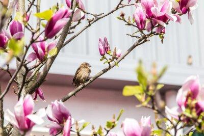 Fototapeta Sparrow kwiaty magnolii