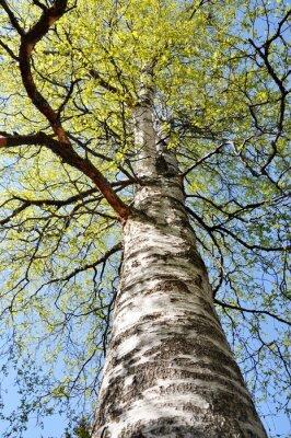 Fototapeta Spójrz nóżkę intensywnie zielone brzozy