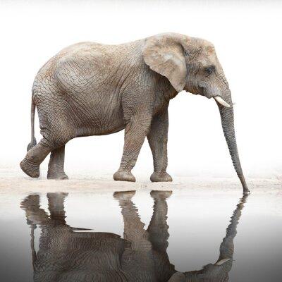 Fototapeta Spragniony picia Elephant od stawu.