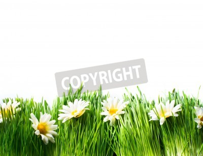 Fototapeta Spring Meadow with Daisies  Grass and Flowers
