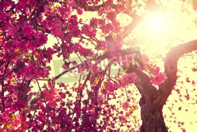 Fototapeta Spring nature background. Blooming tree over sunny sky