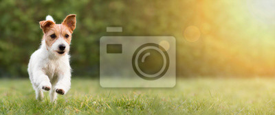 Fototapeta Spring, summer concept, playful happy pet dog puppy running in the grass and listening with funny ears
