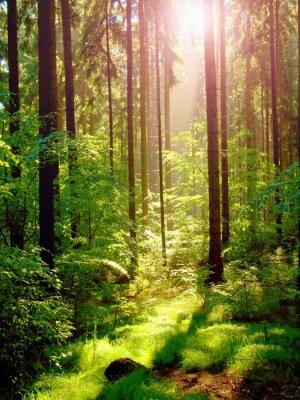 Fototapeta Spring sunset in deep green forest