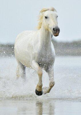 Fototapeta Stado koni Biały Camargue przebiegającej przez wody