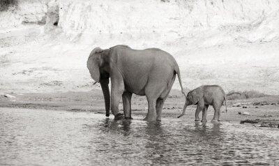 Fototapeta Stado słoni afrykańskich
