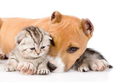 Fototapeta Stafford puppy i szkocki kotek razem. na białym b