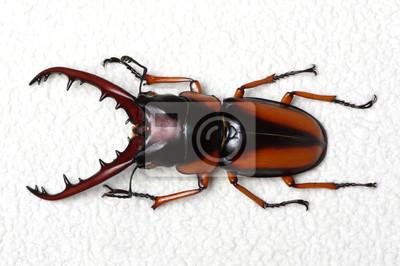 Stag beetle samodzielnie na białym tle