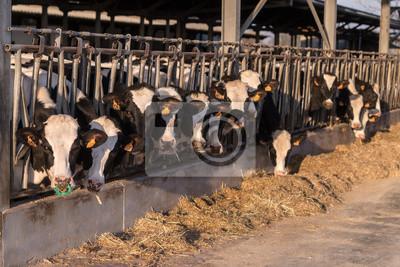 Fototapeta Stalla con fila di mucche pezzate allineate che il fieno mangiano