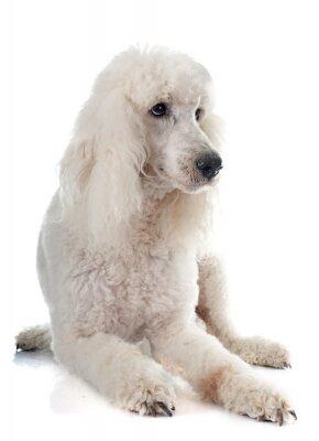 Fototapeta standard poodle