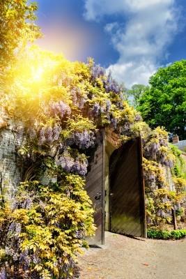 Fototapeta Stare drewniane bramy w parku miejskim z Glicynia kwiaty na letni dzień