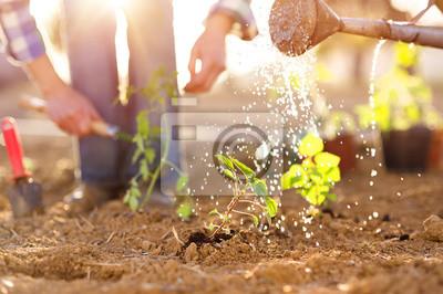 Fototapeta Starszy para podlewania sadzonek w ogrodzie
