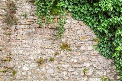 Fototapeta Stary mur z bluszczu jako tło
