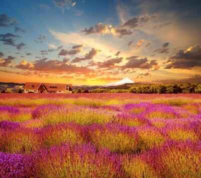 Fototapeta Stock Photo: Beautiful Lawendowe pole w czasie zachodu słońca