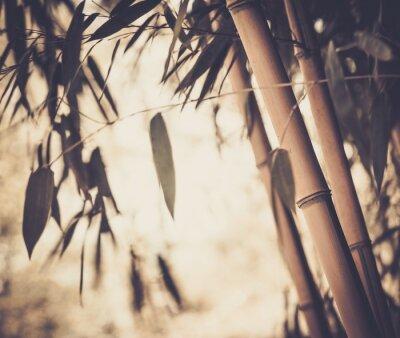 Fototapeta Stonowanych obraz bambusa roślin