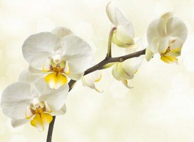 Fototapeta storczyki kwitnących