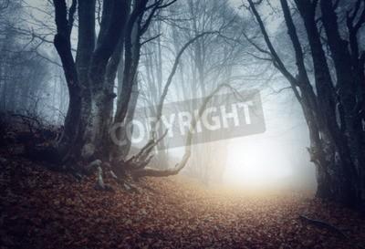 Fototapeta Straszny tajemniczy las we mgle jesienią. Magiczne drzewa. Natura mglisty krajobraz